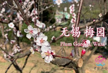 Plum trees in full bloom at Wuxi Plum Garden