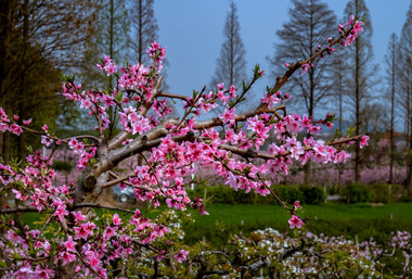 Spectacular views of peach blossoms in Wuxi
