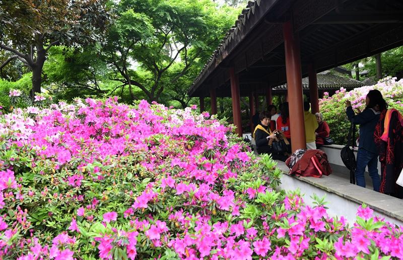 Blooming azaleas impress visitors in Wuxi