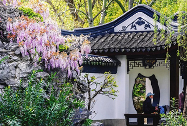 Enjoy blooming wisteria in Wuxi