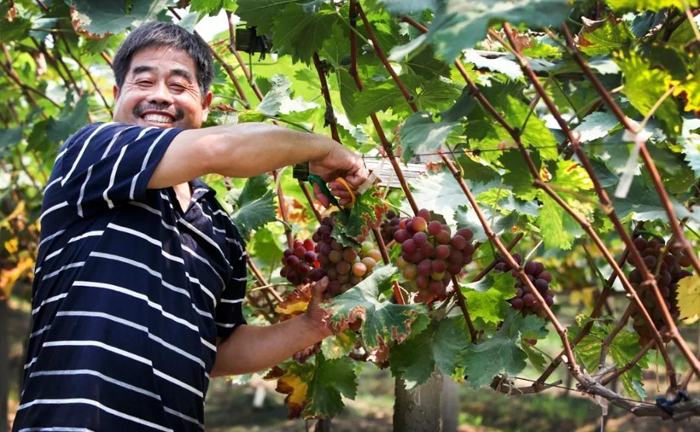 Hongshan town launches month-long grape festival
