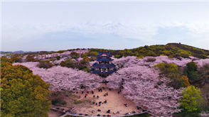 Enjoy Wuxi's famous cherry blossoms in 360