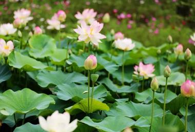 Lotus flowers bloom across Wuxi