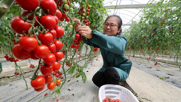 Chinese farmers' income goes up as high-quality development pays off