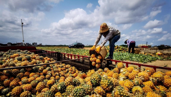 Digital technologies give a leg up to pineapple business of south China's Xuwen