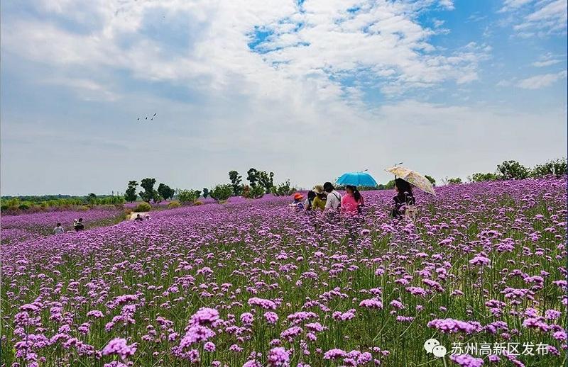 blooming flowers in Xijing Bay fascinate locals1.jpg.jpg