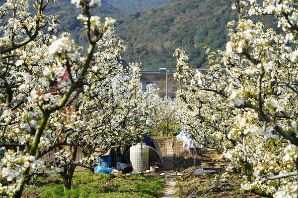 梨花节3.jpg