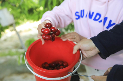 Daxing welcomes cherry picking season