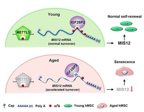 Researchers reveal novel mechanism for RNA m6A modification in regulating human stem cell senescence