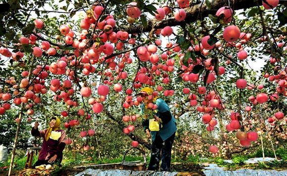 Yantai apples have been granted geographic indication trademwark status. by Wang Qian.jpg