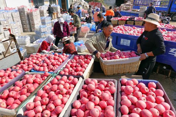 Farmers harvest apples in Yantai