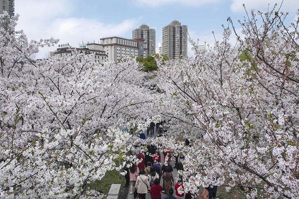 sakura trees_副本.jpg