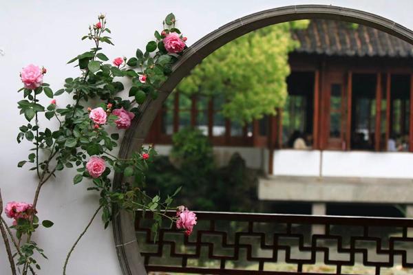 Chinese rose.jpg