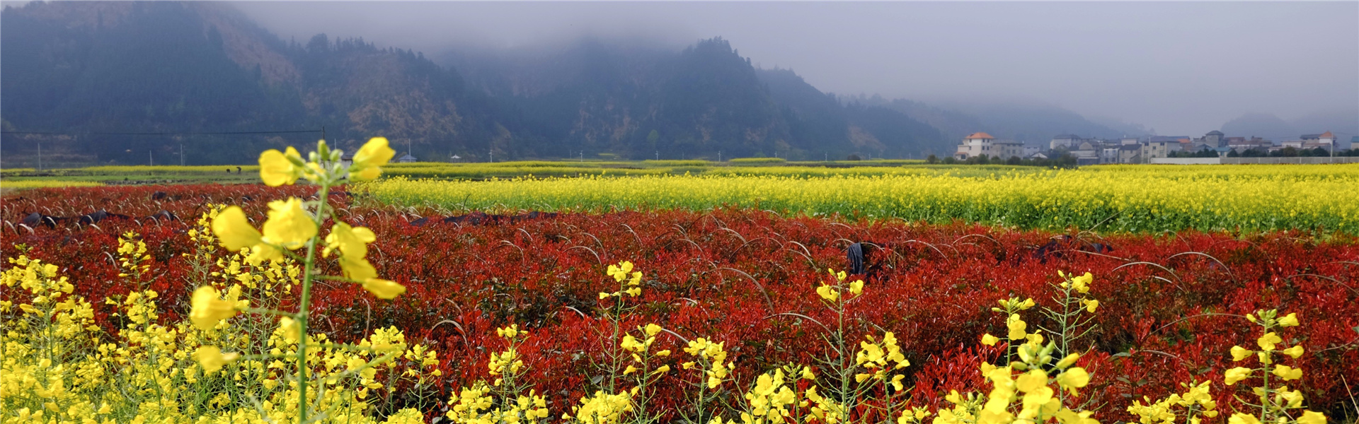 Quzhou rape fields bloom in springtime