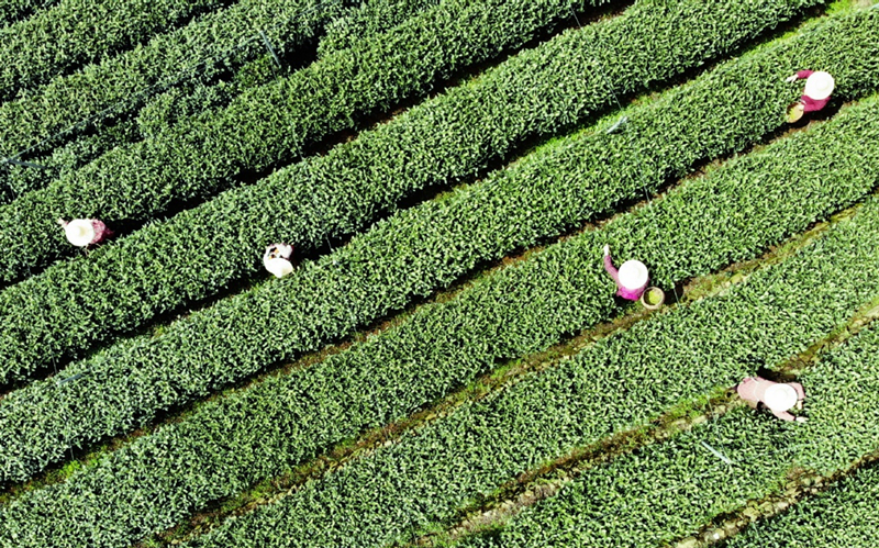 Zhejiang to host fourth China International Tea Expo in late May