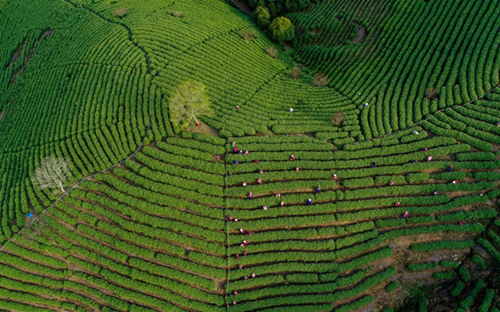 Changxing to welcome tea harvest season