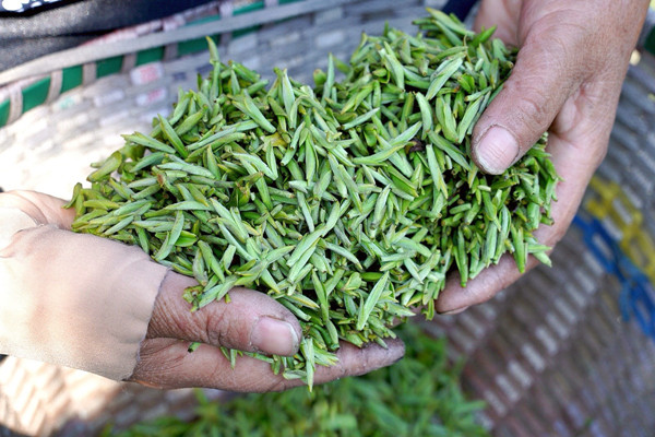 Farmers start picking spring tea in Ningbo