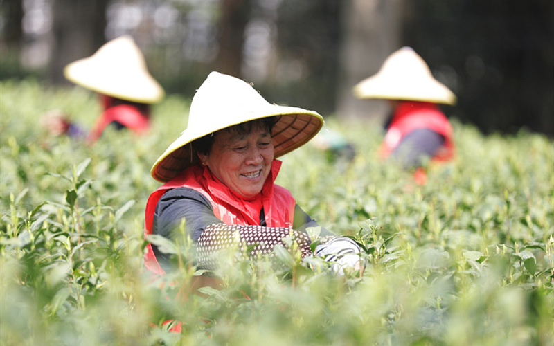 Longjing Tea greets harvest season