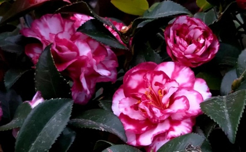 China Camellia Museum opens in Jinhua