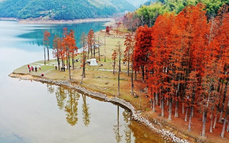Beautiful dawn redwood forests in Zhejiang