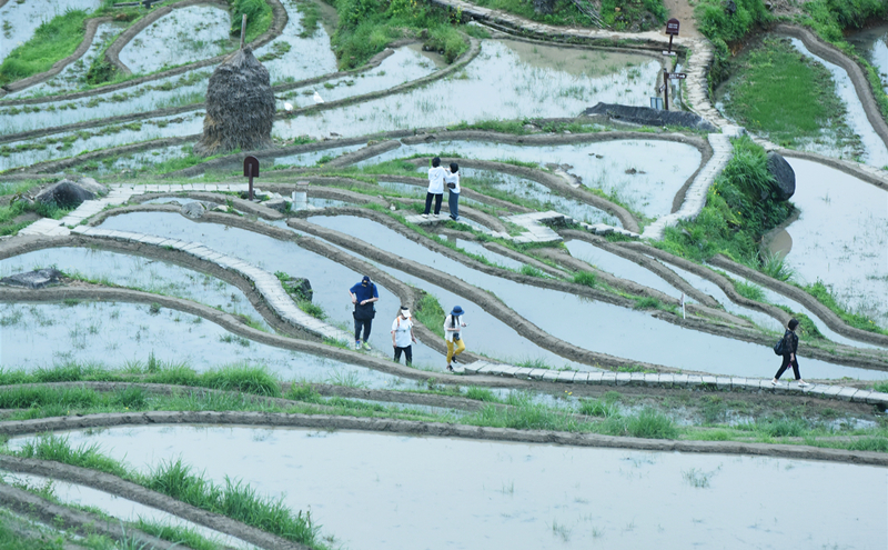 Best visiting season arrives for Yunhe terraced fields