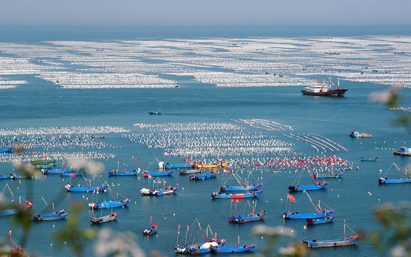 Fishers busy with mussel-farming on Gouqi Island