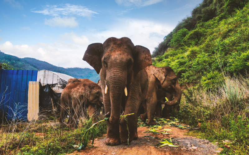 Experts hail country's efforts to protect wild elephants