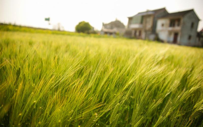 Farmers to hold major events along Yangtze to celebrate harvest