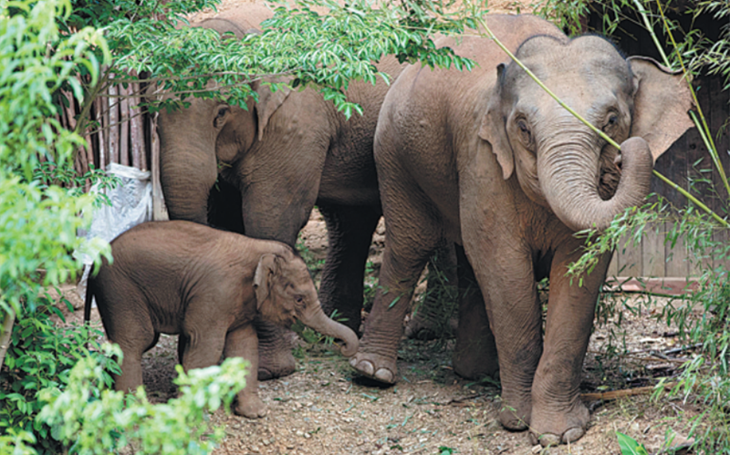 Wandering herd of wild Asian elephants returns home safely