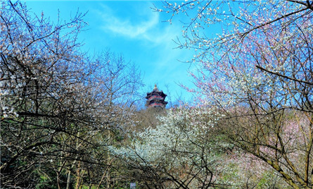Shaoxing cherry blossoms open to the public
