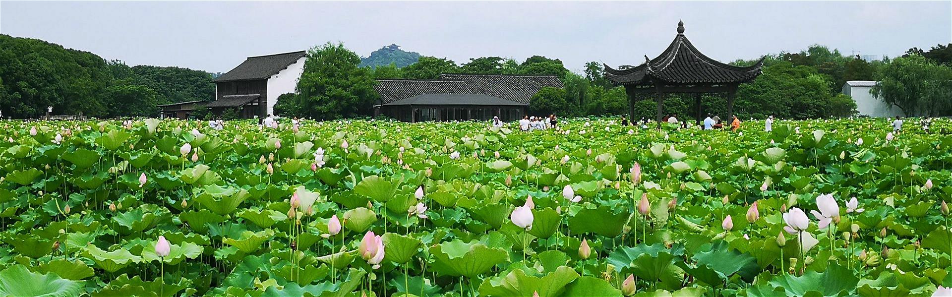 Lotus flowers bloom in Shaoxing