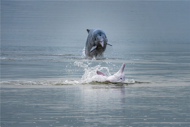 Dolphins enjoy Fujian's clean environment