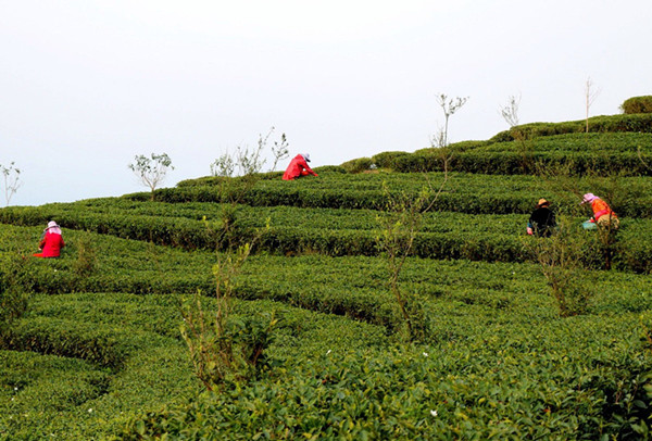 Tea industry brews up the good life