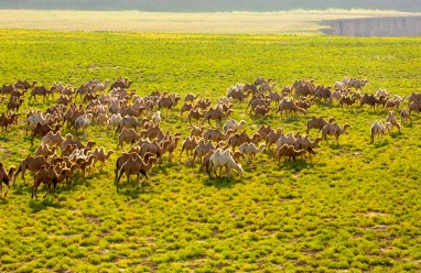 Thousands of camels head to better pastures in Gansu