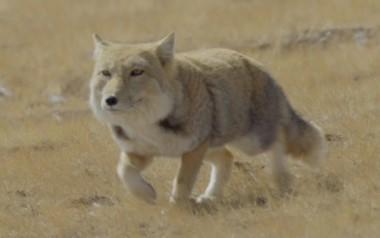 [Wildlife in Gansu] Tibetan foxes rulers of flat terrain
