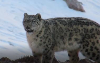 [Wildlife in Gansu] Snow leopard kings of Qilian Mountain