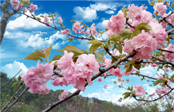 Early cherry blossoms dazzle Lianjiang
