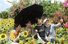 Blooming sunflowers draw crowds to Yugang Park