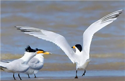 Endangered Chinese crested tern found in Leizhou