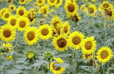 300-mu sunflower field blooms in Nandan