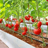 Huanjiang fruit and vegetable planting increases farmers' incomes