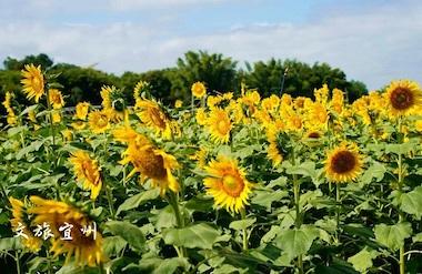 Sunflowers bloom in Hechi's Yizhou