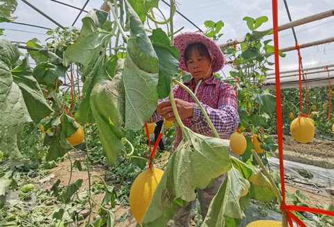 Cantaloupe for poverty relief bears fruit in Guangxi village