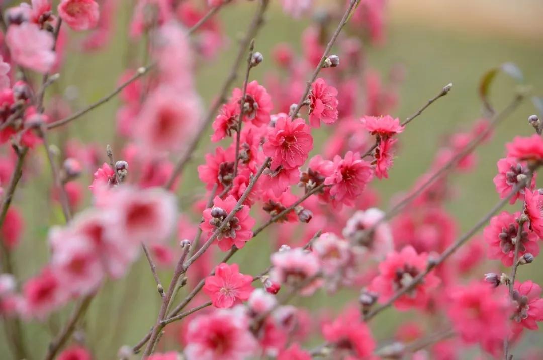 Jindong Peach Blossom Town