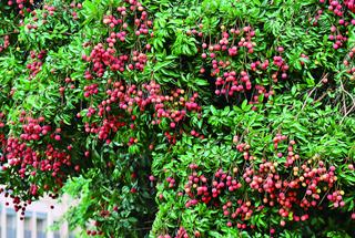 Conghua boosts lychee sales