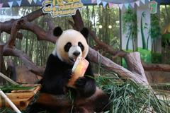 World's only panda triplets celebrate seventh birthday