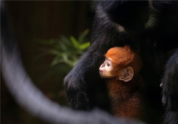 Rare baby leaf monkey born in Guangzhou