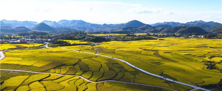 Enjoy Hauxi district's golden, terraced rice paddies