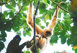Hainan shares gibbon conservation experience at COP15