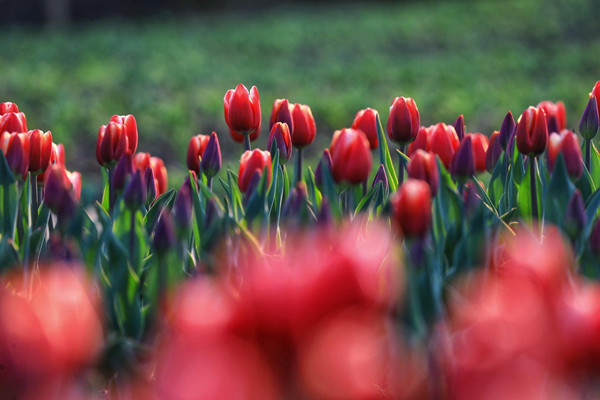 A captivating view of tulips